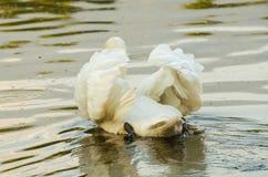 Mooi van Cygnus-olor, witte zwaan royalty-vrije stock afbeeldingen