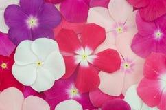 De bloem van de maagdenpalm stock afbeeldingen