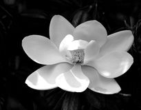 Mooi van de Magnoliabloem zwart-wit beeld als achtergrond royalty-vrije stock afbeelding