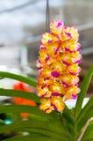 Mooi van het hybride de orchidee van Vanda hangen in bloempot stock afbeelding