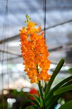 Mooi van het hybride de orchidee van Vanda hangen in bloempot royalty-vrije stock foto's