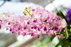 Mooi van het hybride de orchidee van Vanda hangen in bloempot stock foto