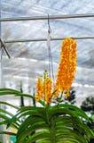 Mooi van het oranje hybride de orchidee van Vanda hangen in bloempot royalty-vrije stock foto