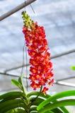 Mooi van het oranje hybride de orchidee van Vanda hangen in bloempot stock fotografie