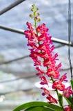 Mooi van het roze hybride de orchidee van Vanda hangen in bloempot stock afbeelding