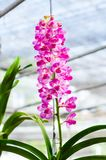 Mooi van het roze hybride de orchidee van Vanda hangen in bloempot stock foto