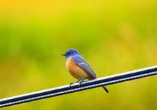 Mooi van vogel de blauw-Uitgezien op van Redstart (Phoenicurus-frontalis), zich bevindt op de kabel, in aard van Thailand Royalty-vrije Stock Afbeelding