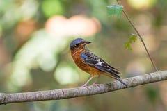 Mooi van vogel wit-Throated Rotslijster zingen asong op tak Stock Fotografie