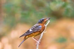 Mooi van vogel wit-Throated Rotslijster zingen asong op tak Royalty-vrije Stock Foto's