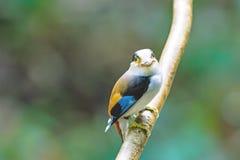 Mooi van zilveren-Breasted Broadbill-vogel (Serilophus-lunatus) Stock Fotografie