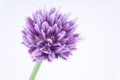 Mooi in viooltje Stock Fotografie