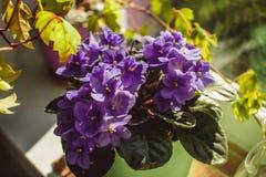 Mooi viooltje in een pot op de vensterbank Royalty-vrije Stock Afbeeldingen