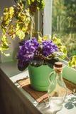 Mooi viooltje in een pot op de vensterbank Royalty-vrije Stock Afbeelding