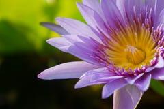 Mooi waterlily, lotusbloem in aard Stock Foto
