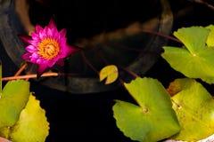 Mooi waterlily of lotusbloembloem stock afbeelding