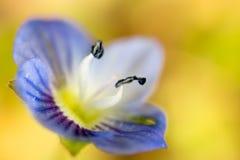 Mooi weinig blauwe bloem op aard stock afbeelding
