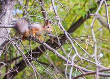 Mooi weinig eekhoorn Stock Foto's
