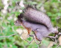 Mooi weinig eekhoorn Stock Afbeeldingen
