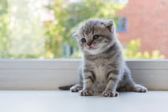 Mooi weinig gestreepte katkatje op venstervensterbank Schots Vouwenras Royalty-vrije Stock Fotografie
