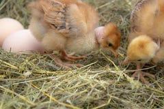 Mooi weinig kip, eieren en eierschaal in nest Pasgeboren kuikens op kippenlandbouwbedrijf stock afbeeldingen