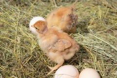 Mooi weinig kip, eieren en eierschaal in nest Pasgeboren kuikens op kippenlandbouwbedrijf stock fotografie