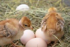 Mooi weinig kip, eieren en eierschaal in nest Pasgeboren kuikens op kippenlandbouwbedrijf royalty-vrije stock foto