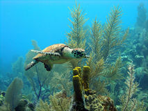 Mooi weinig overzeese schildpad Royalty-vrije Stock Afbeelding