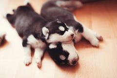 Mooi weinig puppy Siberische schor Royalty-vrije Stock Afbeeldingen
