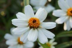 Mooi weinig witte bloem Stock Fotografie