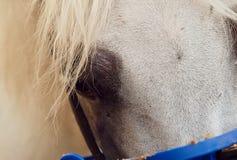 Mooi wit Egyptisch Arabisch paard royalty-vrije stock foto's