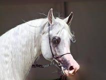 Mooi wit Egyptisch Arabisch paard stock foto's