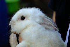 Mooi wit konijn in hand meisje Stock Foto