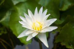 Mooi Wit Lotus Stock Afbeeldingen