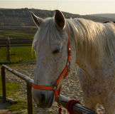 Mooi wit paardhoofd op een boerderijclose-up Stock Foto