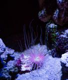 Mooi zeeanemoon dierlijk plant het glanzen purper roze licht fairytale zoals aquatisch onderwater oceaanlandschap stock foto's