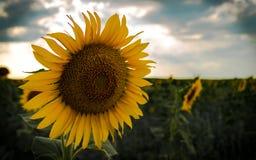 Mooi zonnebloemclose-up Royalty-vrije Stock Foto