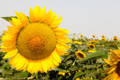 Mooi zonnebloemengebied Royalty-vrije Stock Foto's