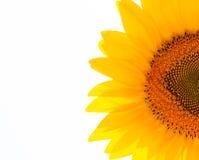 Mooi zonnebloemengebied Stock Afbeeldingen