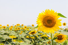 Mooi zonnebloemengebied Royalty-vrije Stock Afbeelding