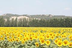 Mooi zonnebloemengebied - de Provence, Frankrijk Stock Foto