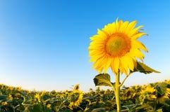 Mooi zonnebloemenlandbouwbedrijf op de zonnige de zomerdag Royalty-vrije Stock Fotografie