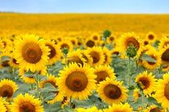 Mooi zonnebloemgebied Royalty-vrije Stock Foto's