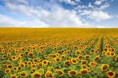 Mooi zonnebloemgebied Stock Fotografie