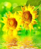 Mooi zonnebloemgebied in de zomer Royalty-vrije Stock Foto