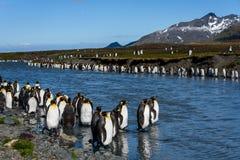 Mooi zonnig landschap met de grote kolonie van KoningsPenguin, pinguïnen die zich in rivier bevinden die terug naar de oceaan, S royalty-vrije stock fotografie