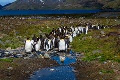 Mooi zonnig landschap met de grote kolonie van KoningsPenguin, pinguïnen die zich in stroom bevindt die terug naar de oceaan, St royalty-vrije stock afbeeldingen