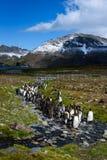 Mooi zonnig landschap met de grote kolonie van KoningsPenguin, pinguïnen zich in stroom bevinden die tot een meer opnieuw leiden stock fotografie