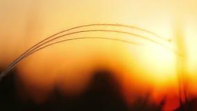 Mooi zonsonderganglicht met stipainstallatie op de weide stock footage