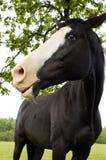 Mooi zwart paard Stock Foto