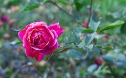 Mooie Één enkele Rode Rose On een Boom Stock Foto